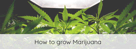 newly growing marijuana plants from seeds