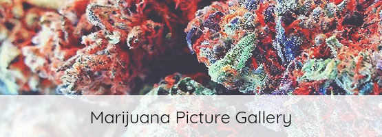 cannabis plant image gallery
