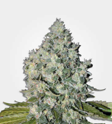 Big Bud Cannabis