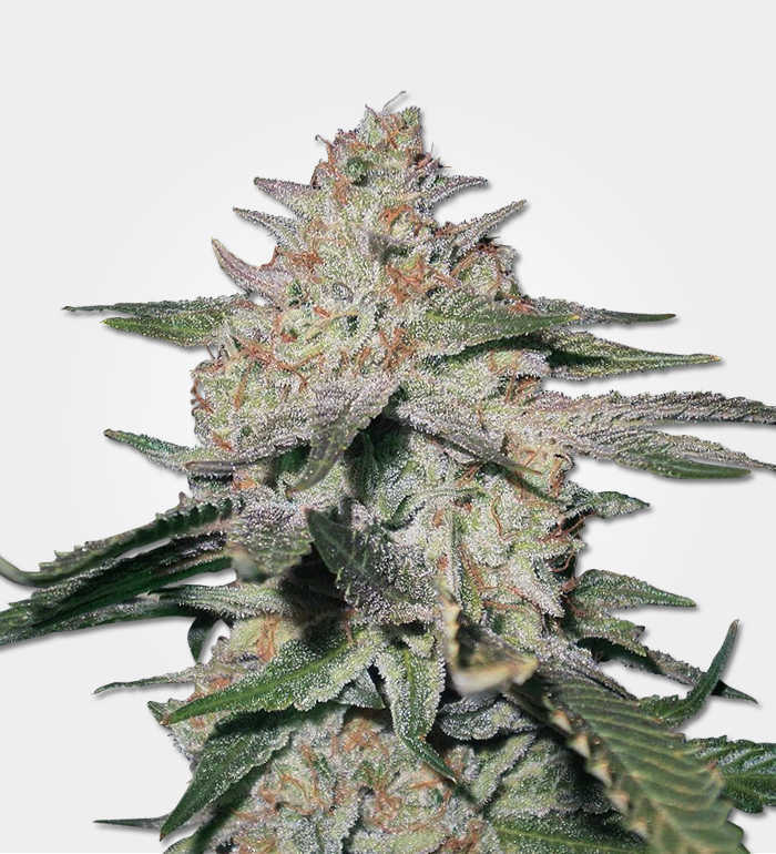 Northern Lights Feminized Marijuana