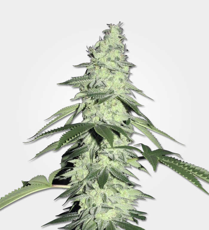 Pure Power Plant Cannabis