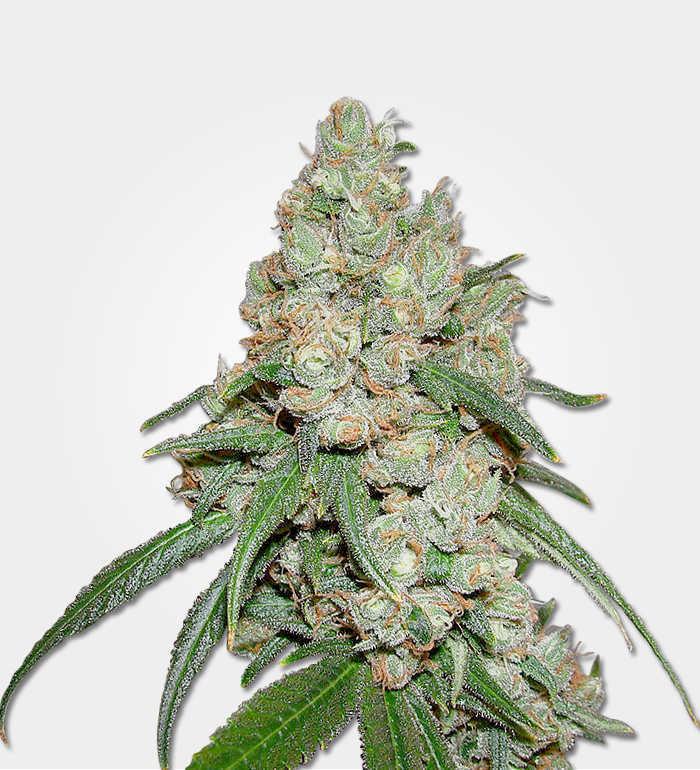 buddha marijuana