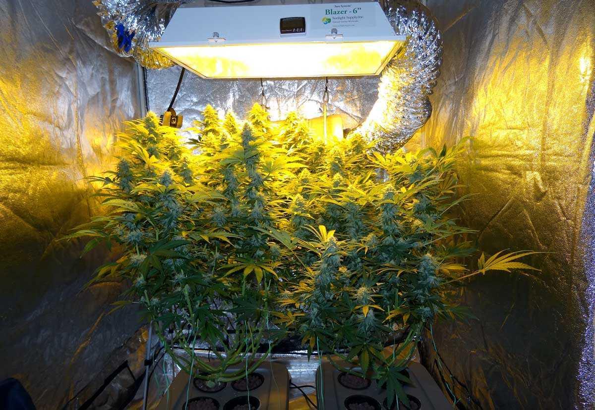 Deep Water Culture Marijuana Grow