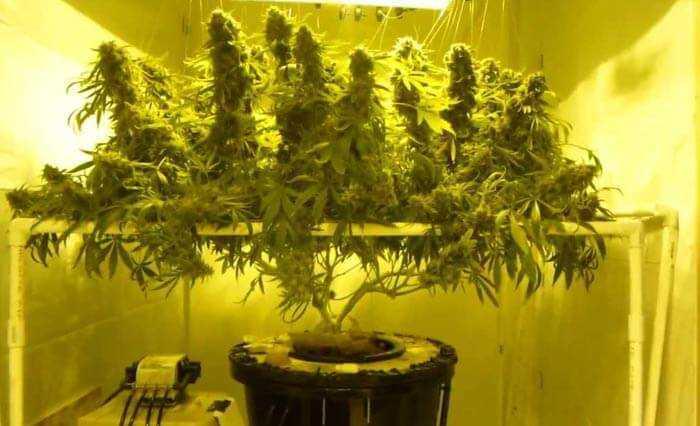 Single Marijuana Plant in DWC