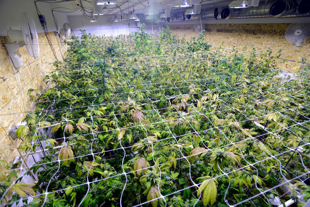 Huge Hydroponic Marijuana Grow