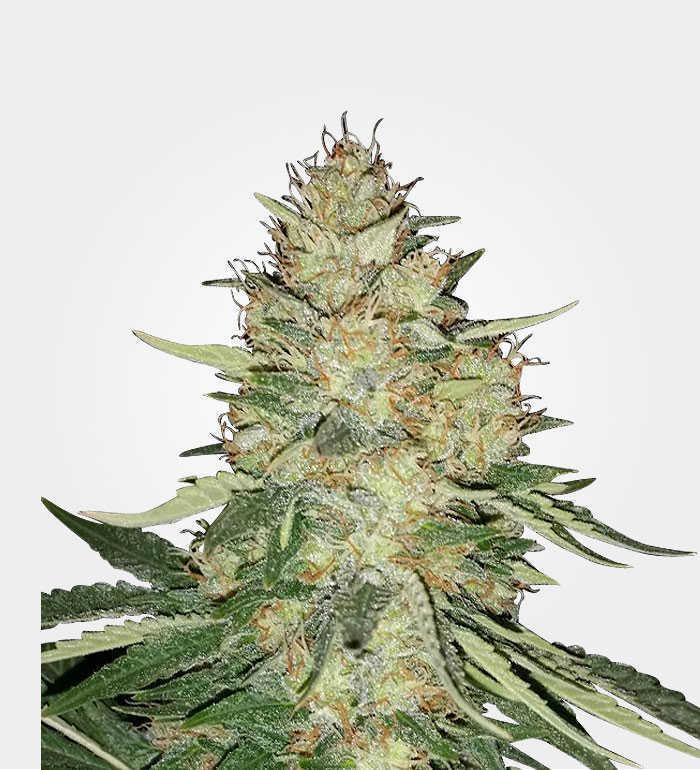 ice marijuana