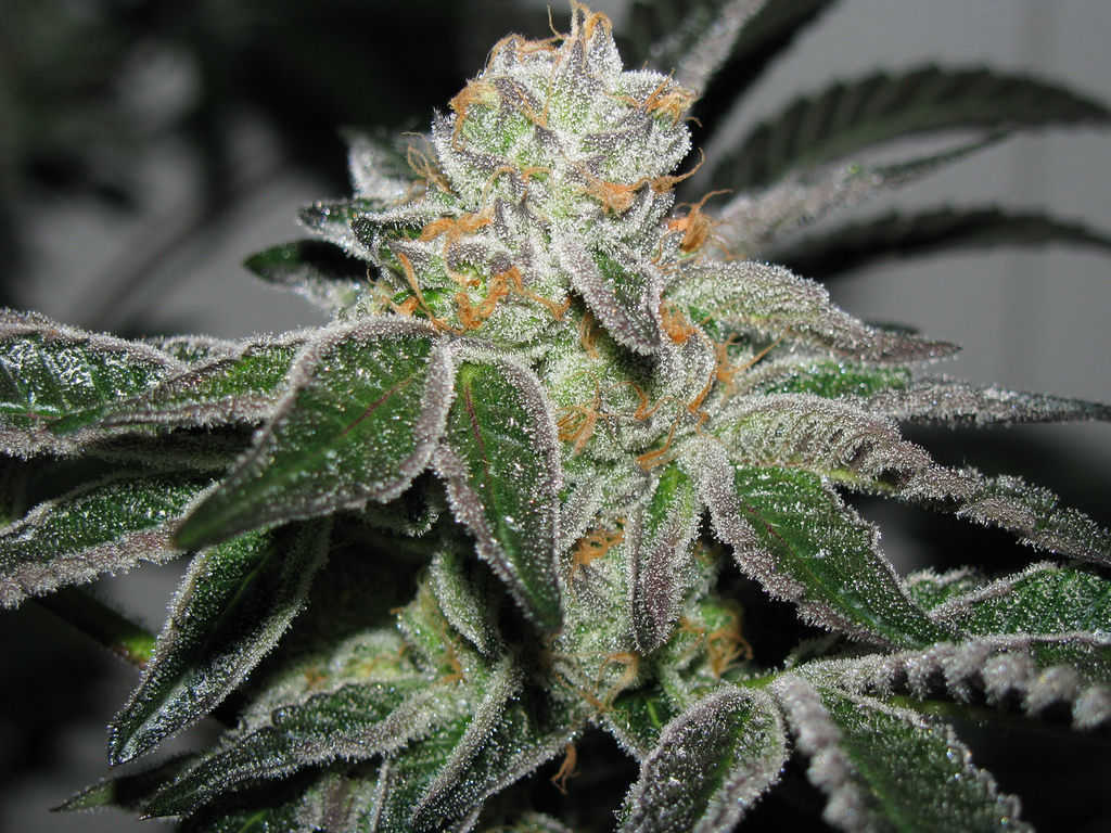 Frosty Top Bud