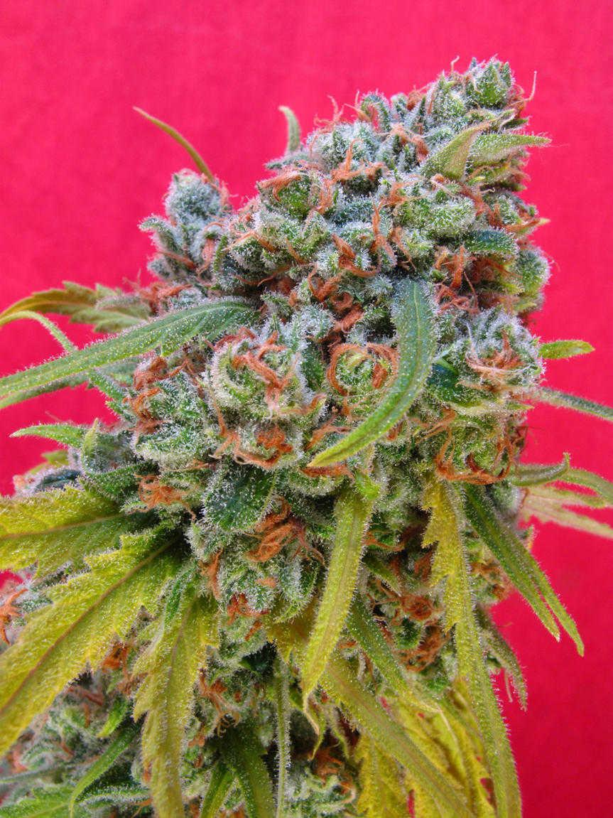 Sativa Top Bud