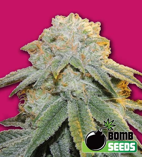Bubble Bomb by Bomb Seeds