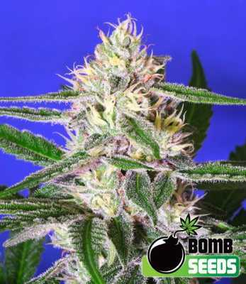 edam-bomb-by-bomb-seeds