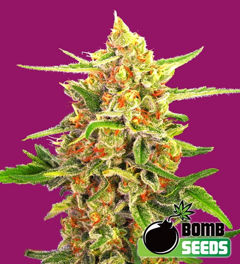 Cherry Bomb by Bomb Seeds