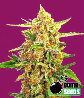 cherry-bomb-by-bomb-seeds