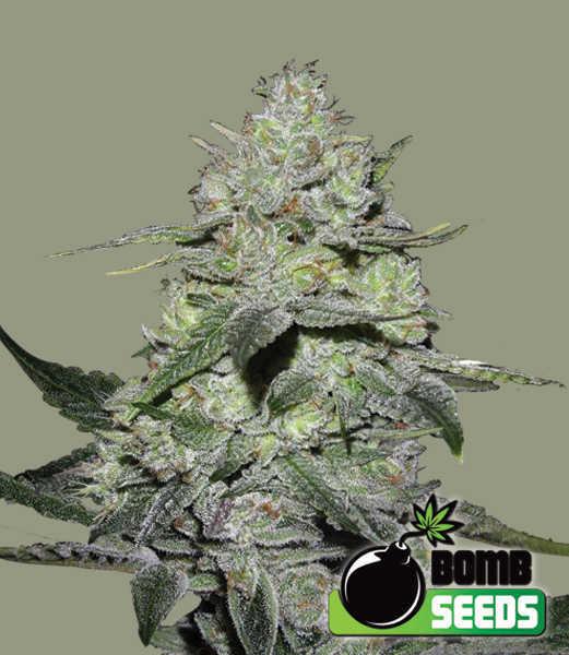 Gorilla-Bomb-Seeds