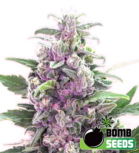 THC Bomb by Bomb Seeds