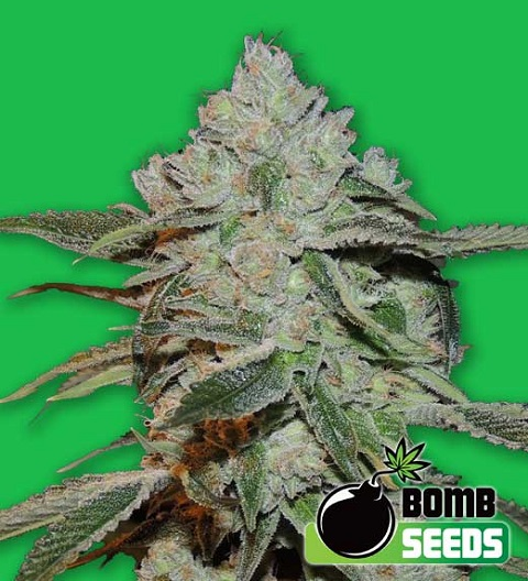 atomic-by-bomb-seeds