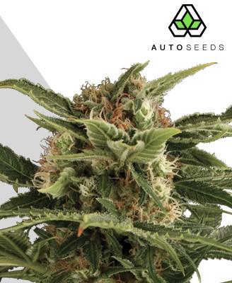Auto Pounder Marijuana Strain