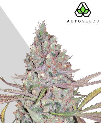 Berry Ryder Marijuana Strain