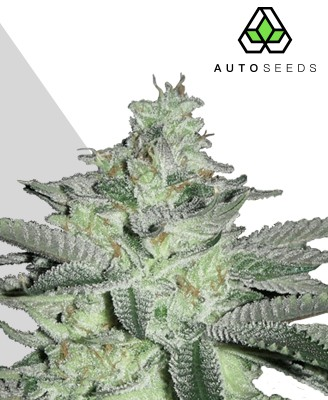 Diesel Berry Marijuana Strain
