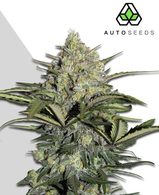 Gorilla Bomb Strain Review - Marijuana Seed Banks