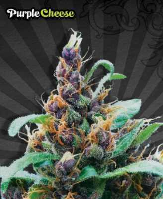 purple-stilton-by-auto-seeds