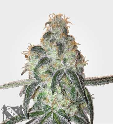 girl-scout-cookies-marijuana-strain