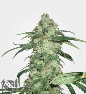 super-silver-haze-marijuana-strain