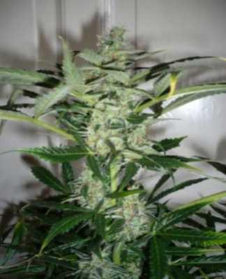 auto-massive-bud-marijuana