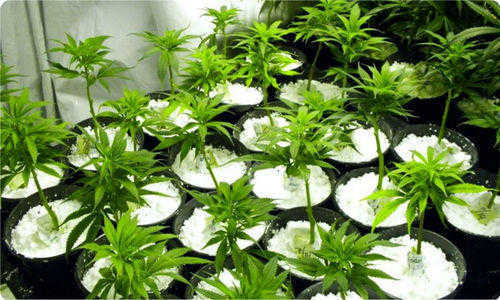 marijuana lights