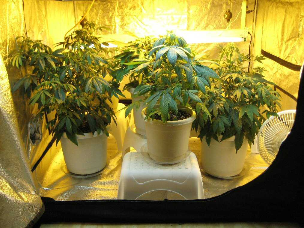how to grow weed in a tent