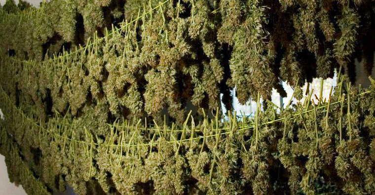Marijuana Drying Rack