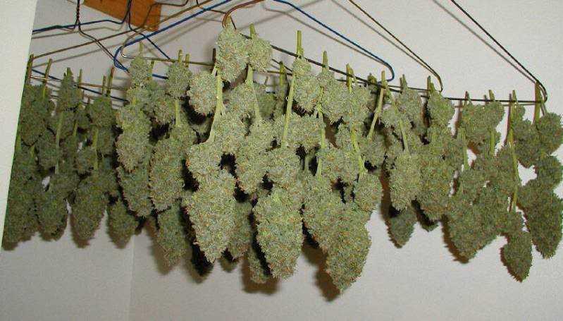marijuana drying harvest