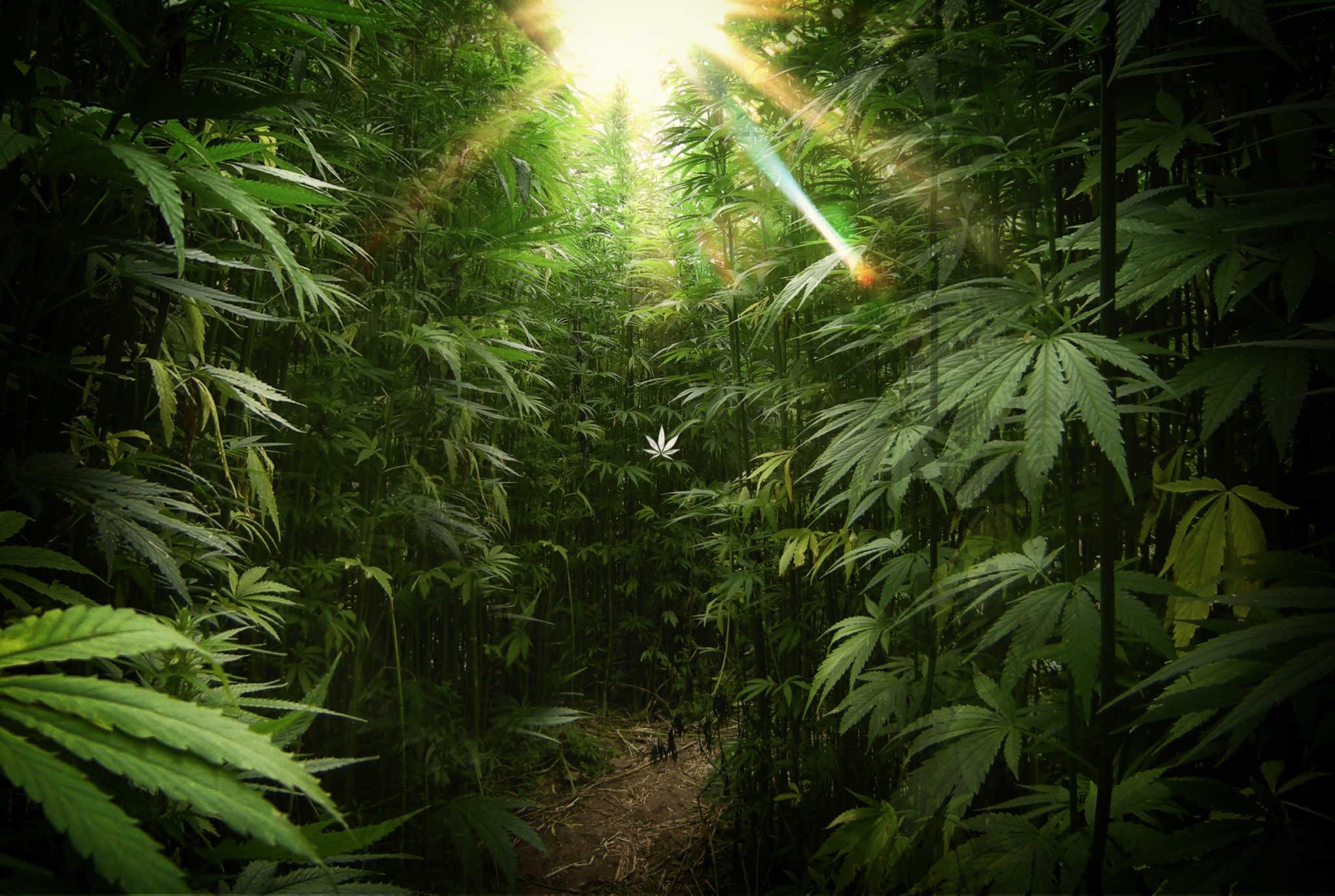 Marijuana Forest