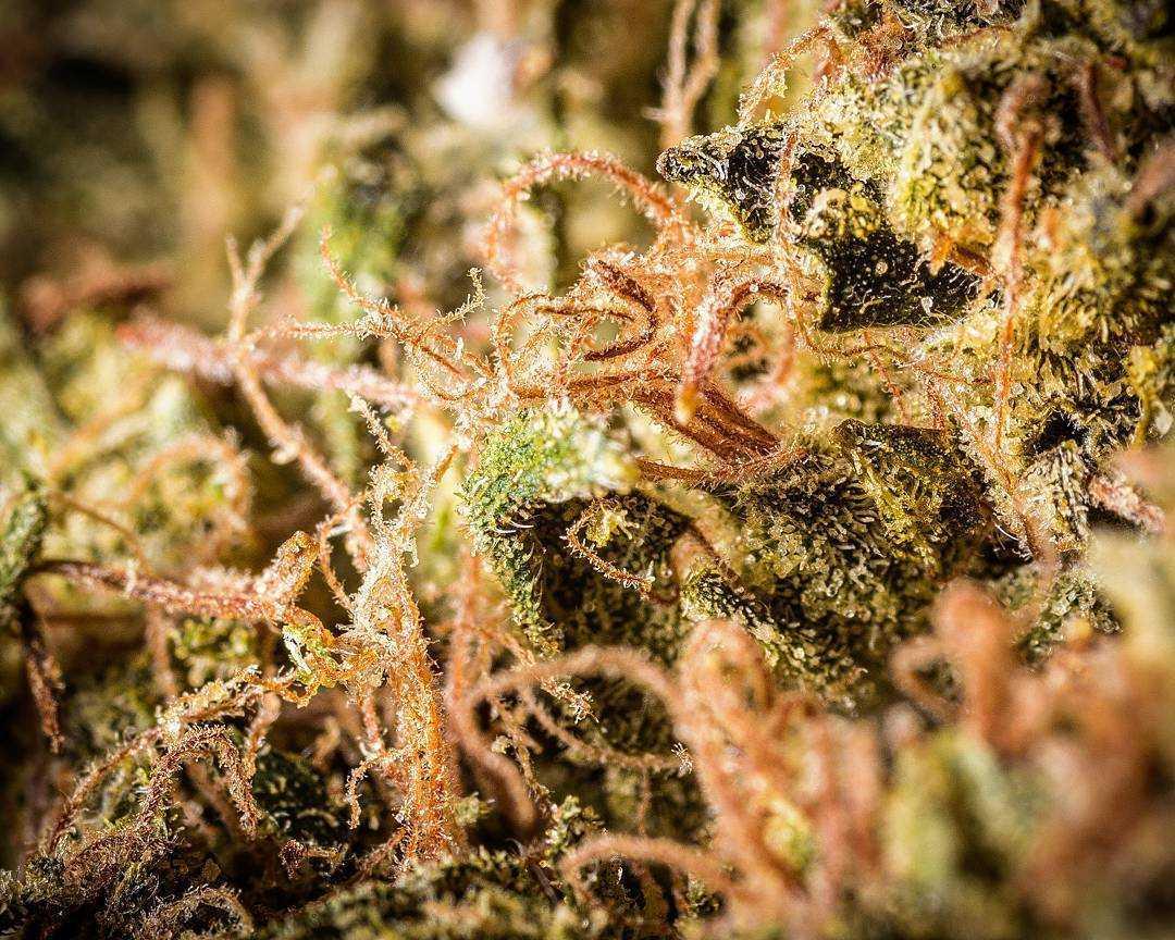 amber-hairs-macro-marijuana