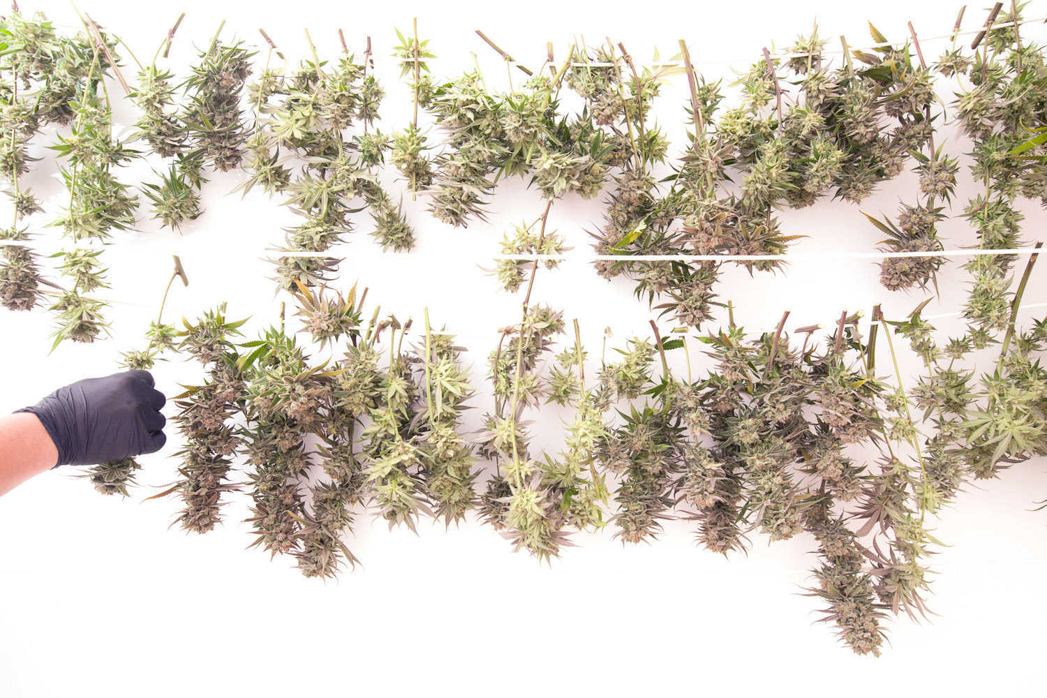 marijuana buds drying