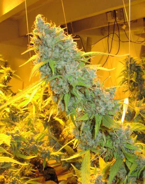 BLZ Bud y strain