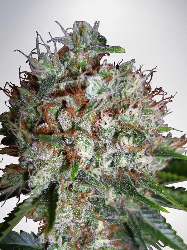 big-bud-xxl-feminized-marijuana-strain