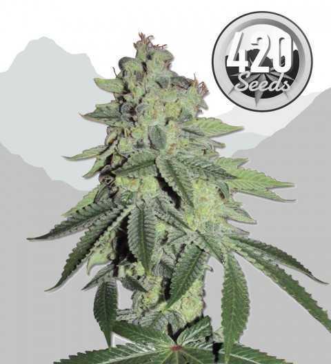 420-seeds-white-lsd-marijuana-strain