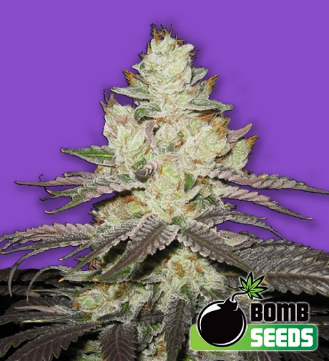 killer-purps-marijuana-bomb-seeds