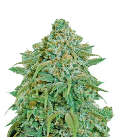 Tangerine Dream marijuana seeds