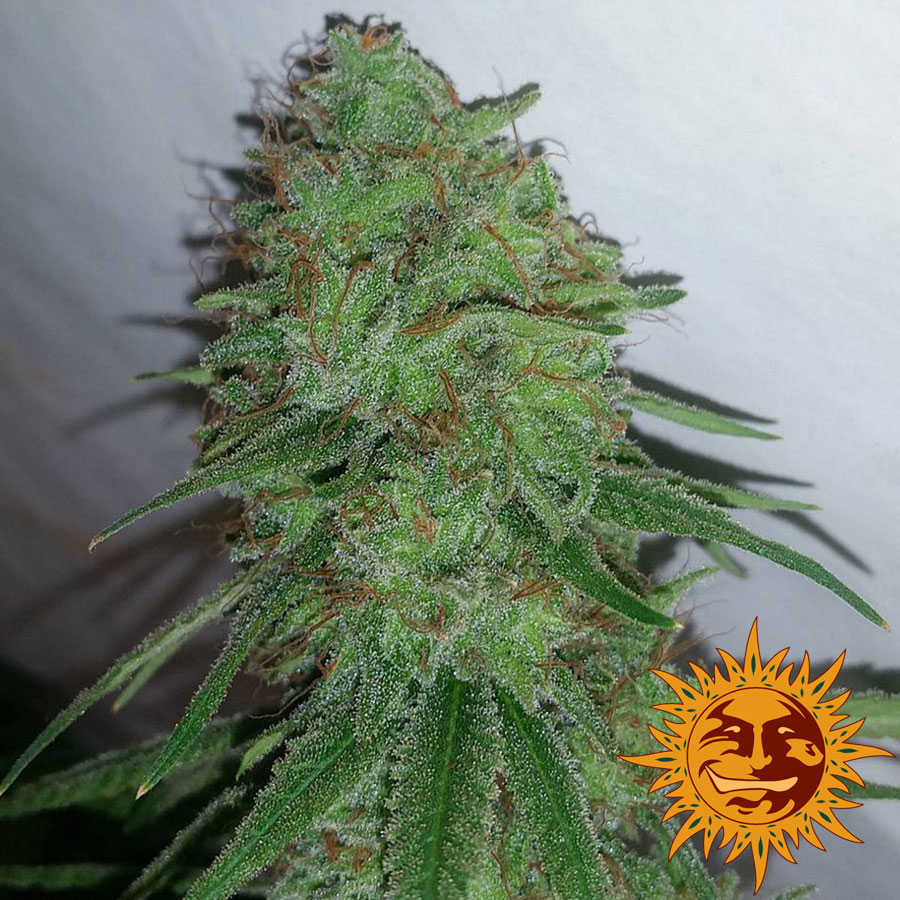 tangerine-dream-marijuana-seeds