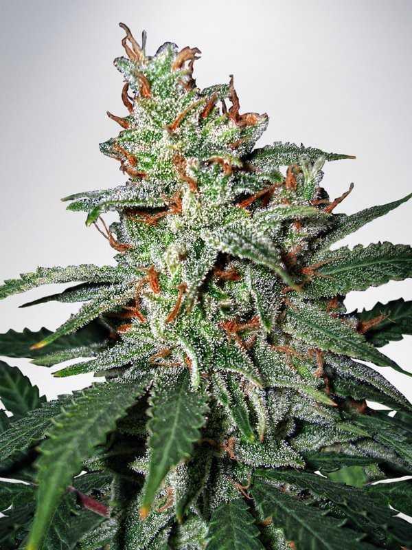 Carnival-marijuana-seeds