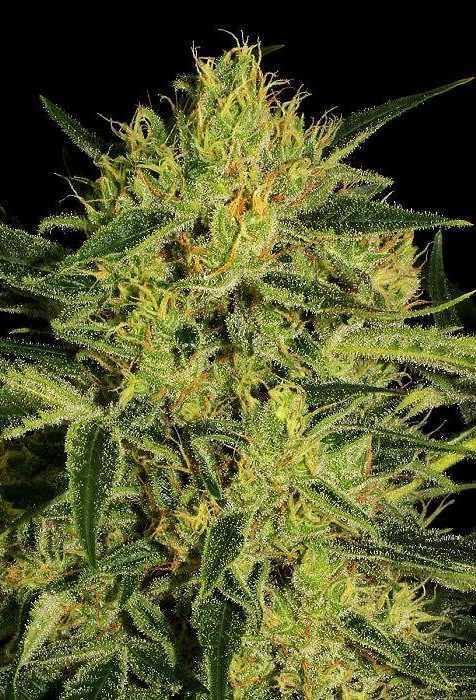 Nebula 1:1 CBD - Marijuana Seed Banks