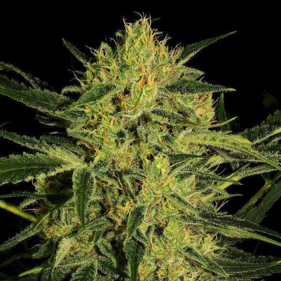 nebula-cbd-feminized-nirvana-marijuana-seeds