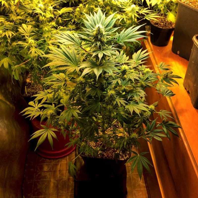 Nirvana Nebula CBD marijuana seeds