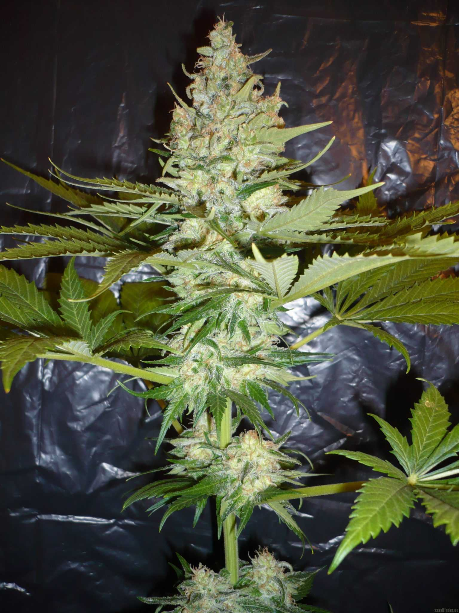 wonder-woman-feminized-marijuana-strain