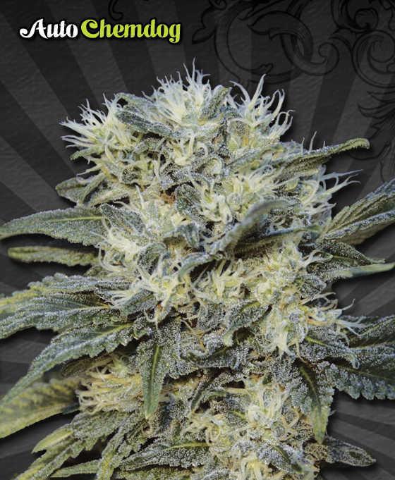 Auto-Chemdog-marijuana-seeds