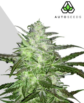 Auto Chemdog marijuana strain
