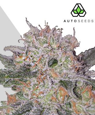 Trans Siberian Marijuana Strain