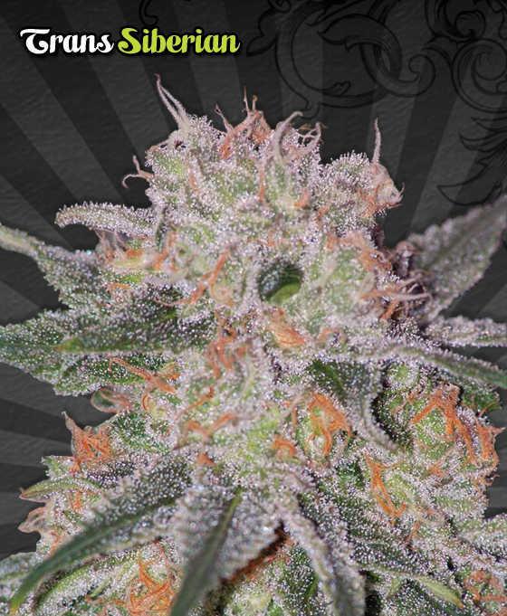 Trans-Siberian-marijuana-seeds