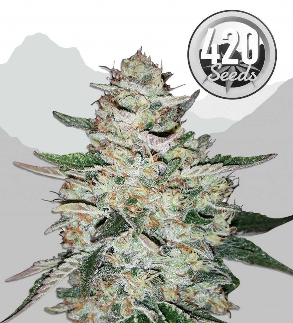 big-bud-automatic-420-seeds-marijuana-strain